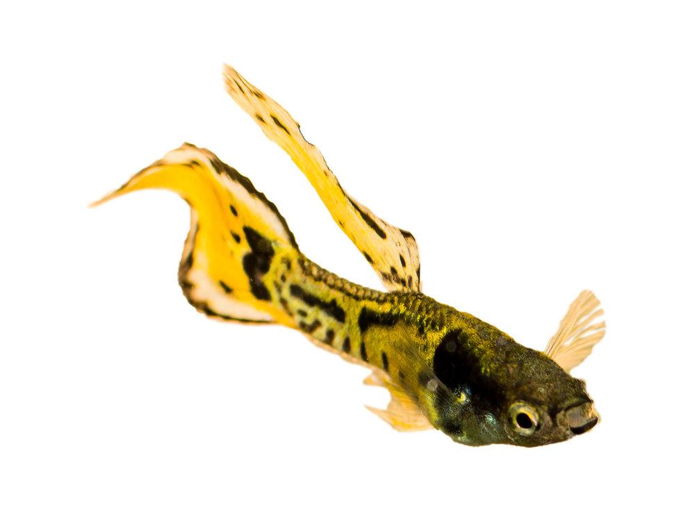 Tiger Fisch