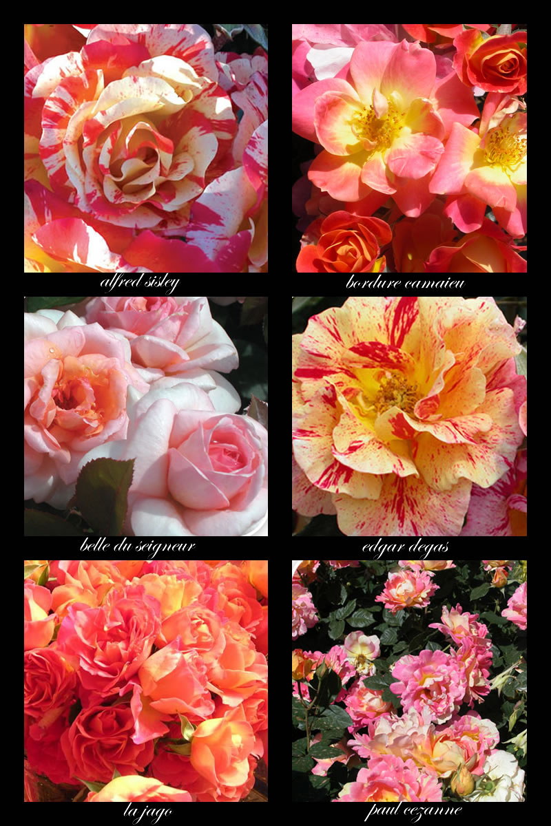 delbard french roses in pinks and oranges