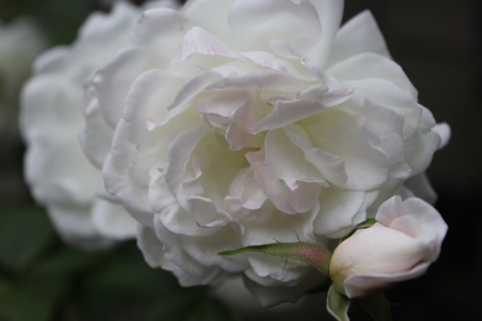 pink iceberg rose