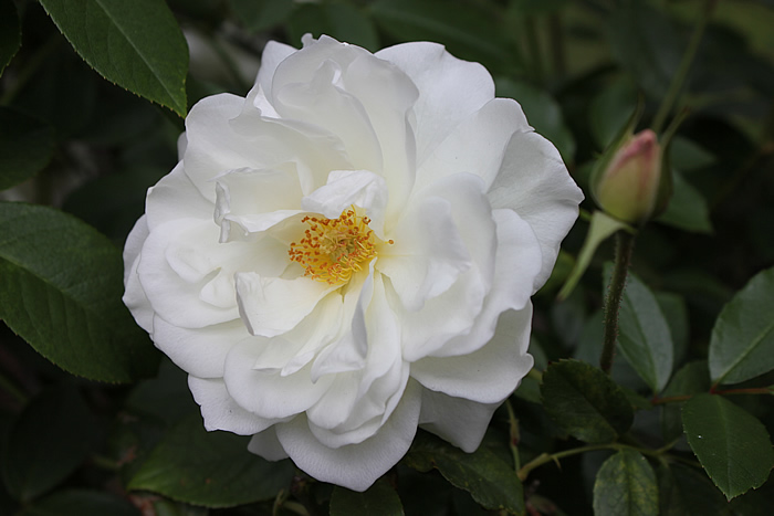 iceberg rose
