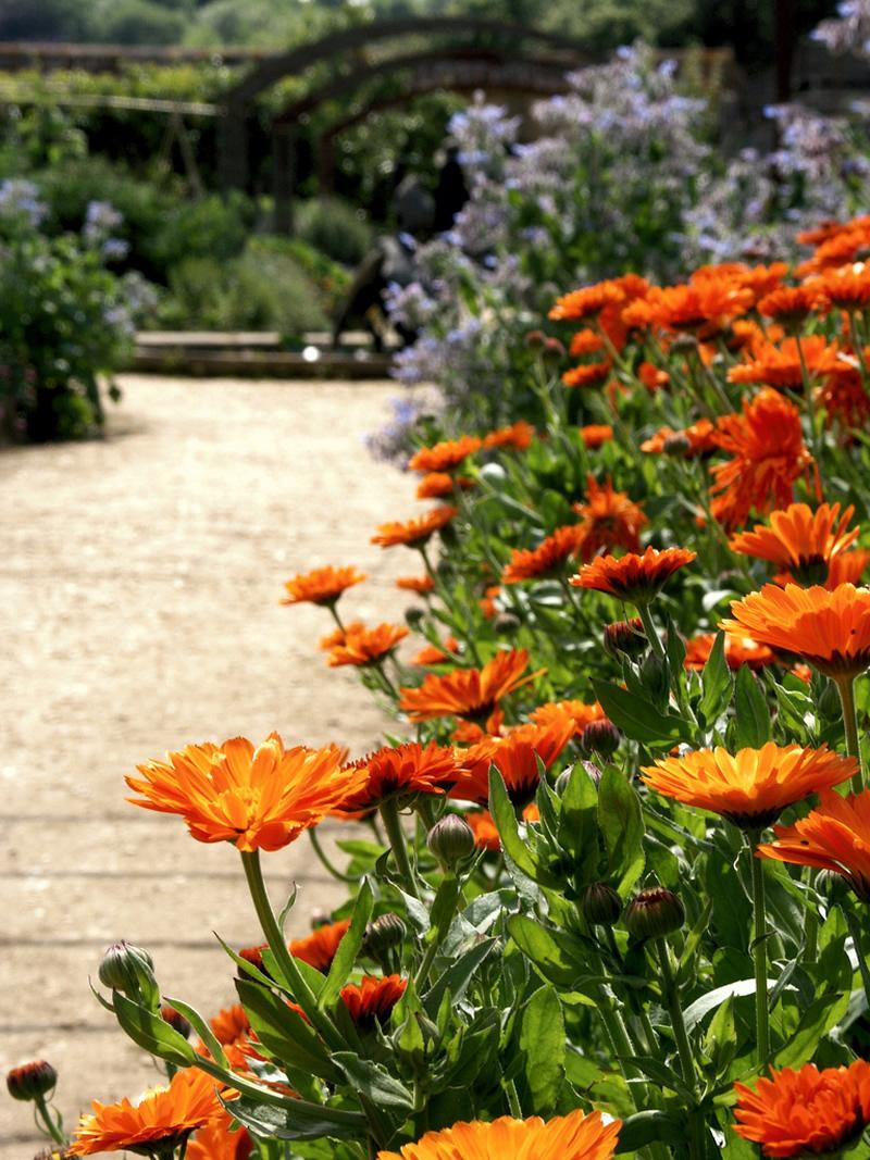 marigolds in the veggie garden