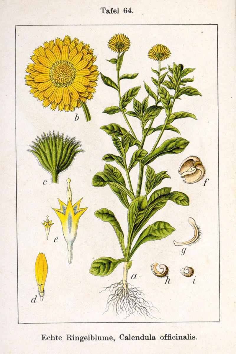 Calendula_officinalis_illustration