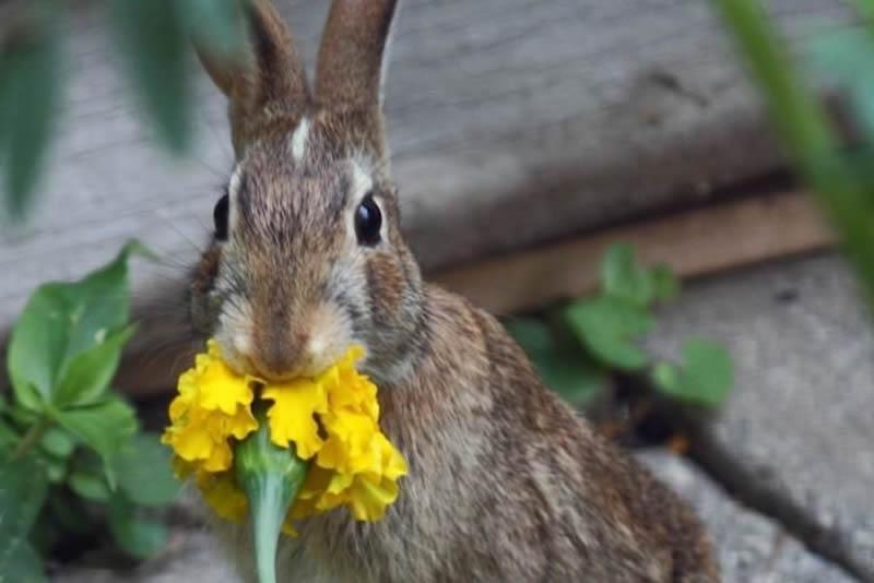 rabbit eating marigold