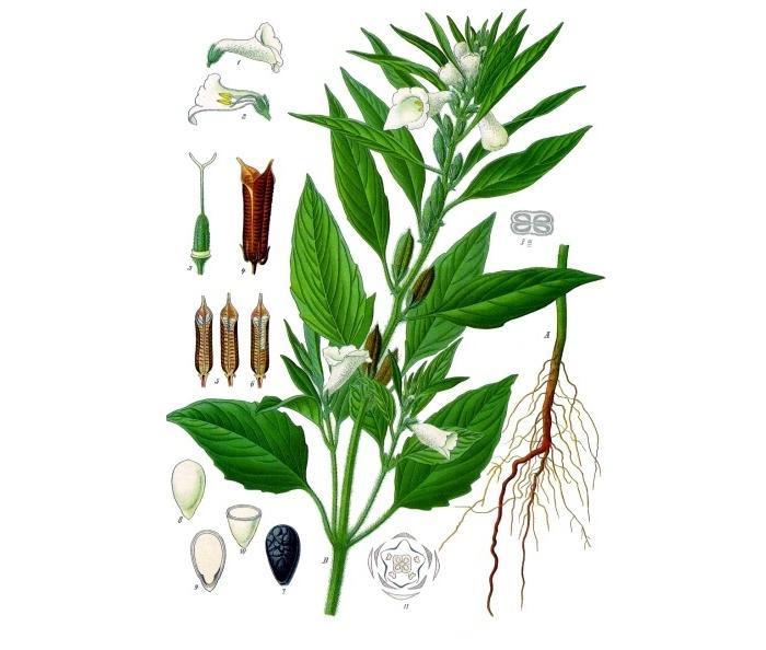 the sesame plant
