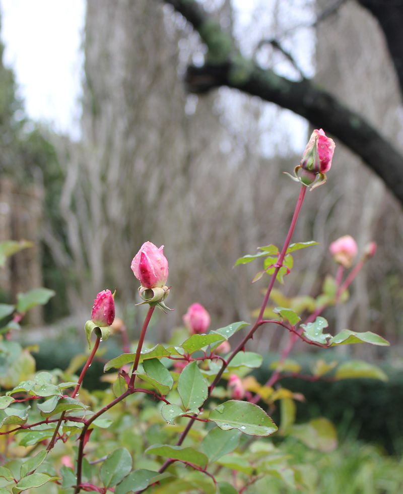 Lorraine Lee roses flower right into early winter in Australia...