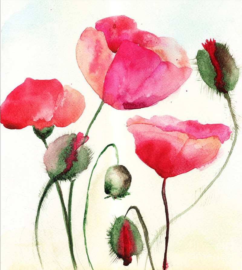 poppy flowers illustration water colour