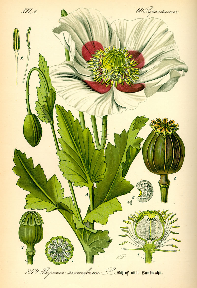Illustration_Papaver_somniferum0