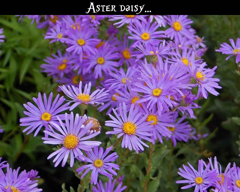 birth flower for september forget me not  aster  glamour drops, Beautiful flower