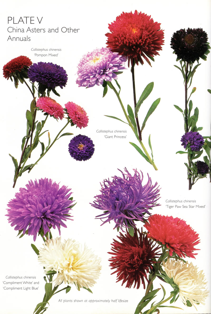 Birth flower for september forget me not aster glamour drops china asters mightylinksfo