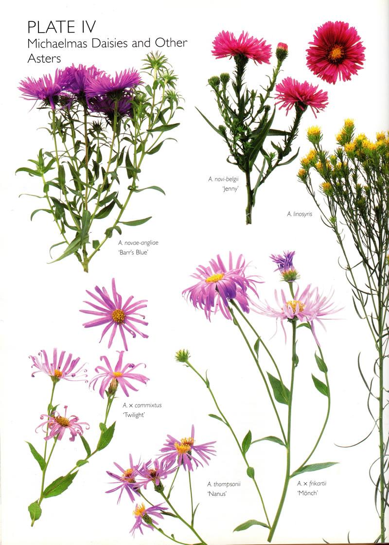 michalmas daisies