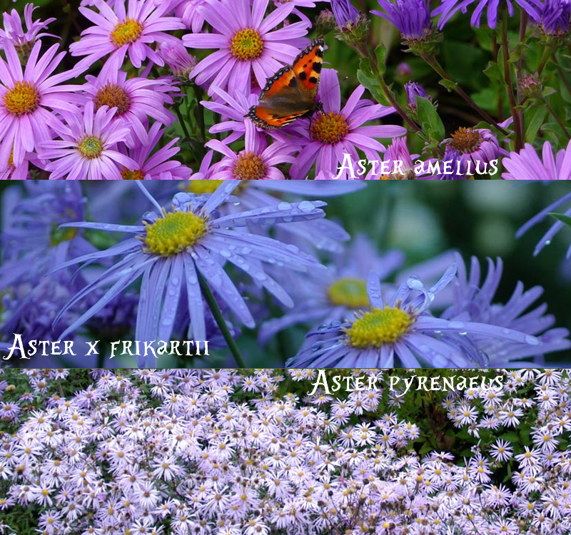 european asters