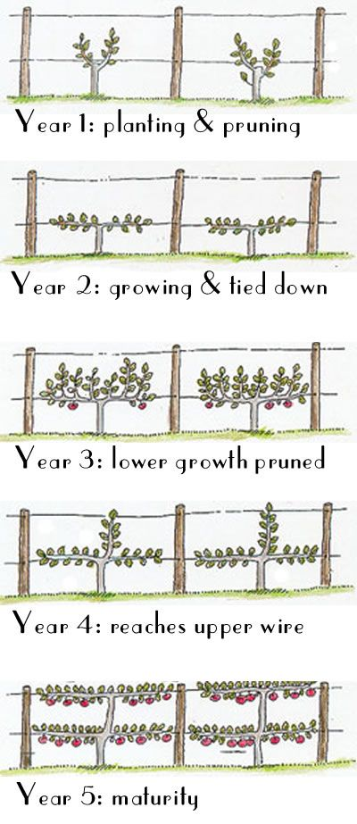 Instructions on How to Espalier fruit trees…it's actually very easy….