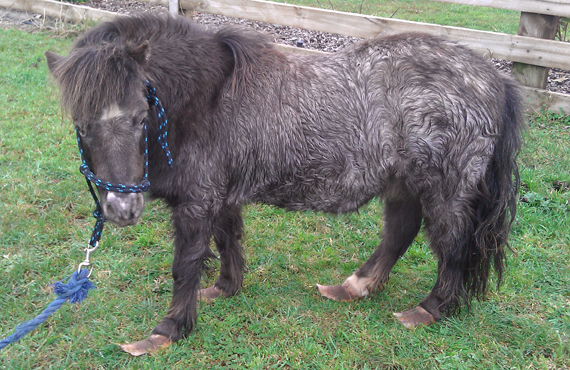 A pony suffering chronic laminitis and showing the signs of Cushings disease, a long curly coat.