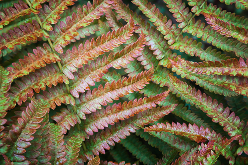 "Gerri Wilson.  ""Fern Pattern,"" digital photographic print, 9.75"" x 14.5"" matted as 16"" x 20"", framed under museum glass. More work by this artist at WVHighlands Artisans Gallery, Buxton & Landstreet Gallery and online at  www.deerrunstudios.com    FMV   $220      I    GUAR PUR   $275      I    MIN BID$88      I    BID INC$10"