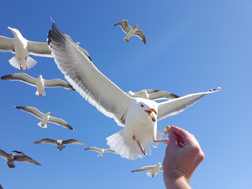 seagull_beak.JPG