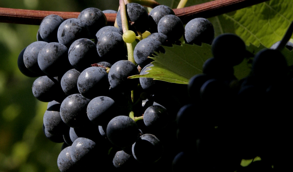 Wines with Character   We grow premium grapes that produce wines with distinctive varietal character.