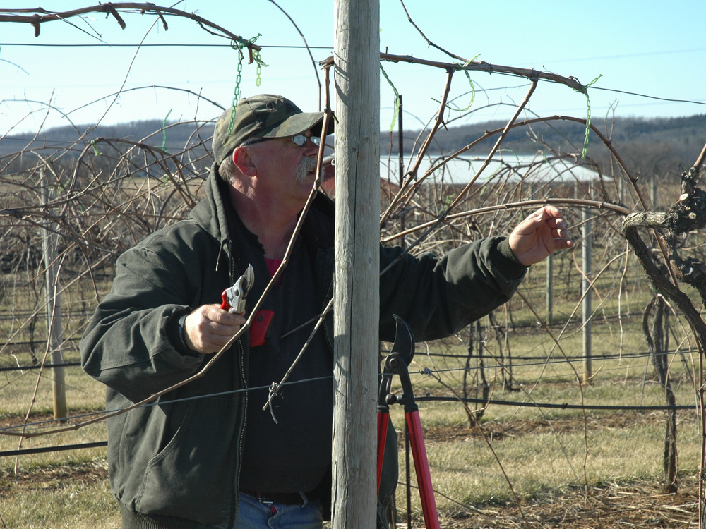 Bob hard at work pruning in the vineyard.
