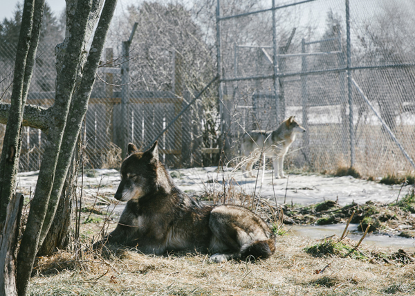 Wolves, Bear (front) and Osa, (back) at Wolf Hollow Wolf Sanctuary in Ipswhich, MA.