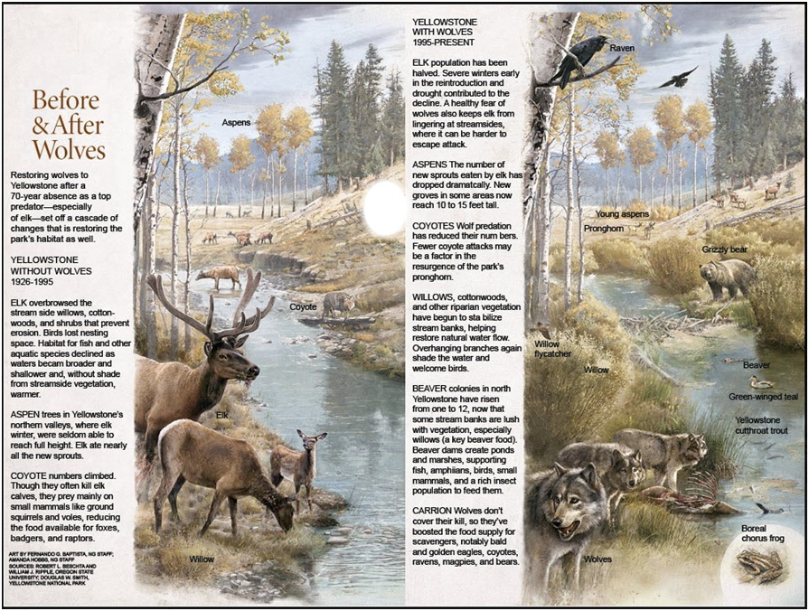 Wolves were re-introduced into Yellowstone National Park in 1995, after a 70 year absence. As a result the entire landscape seemed to change overnight as natures system of checks and balances restored. Check out the full story at National Geographic.