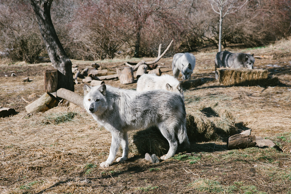 All the wolves in the main pack are 5 years old. Grendel is the Alpha Male, and Neveah is the alpha female. Not going to lie, it's a little difficult to tell which one is which. Visit the Wolf Hollow Site to get their full bios, and see if you can pick them out!