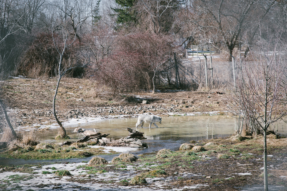 The wolves have plenty of room to roam and a pond to splash in. However, they still get curious about the outside world. Once the main pack got out of their enclosure, but they didn't go very far. Homesickness set in pretty quick and they were found just outside the perimeter.