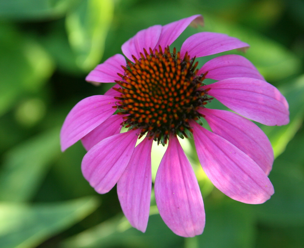Echinacea purpurea, an immunostimulant commonly used for colds and flus. Orto Botanico in Padua, Italy