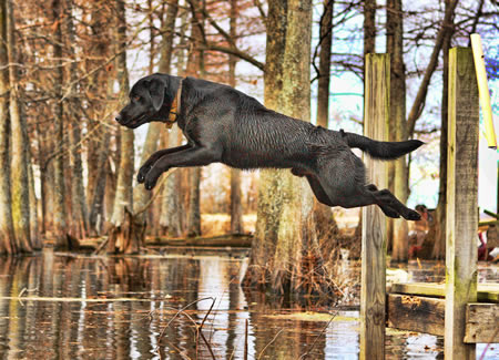 hunting-dog-training-jumping.jpg