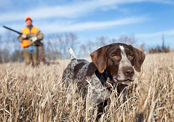 hunting-dog-training.jpg