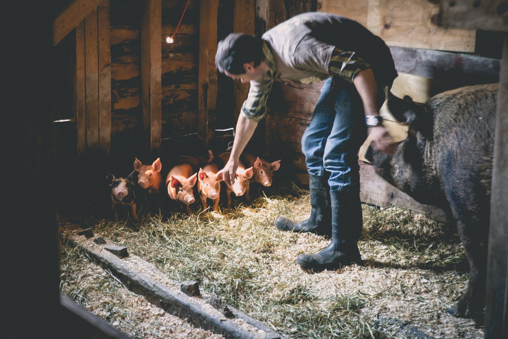 Owner Morten with a family of heritage breed pigs at the farm.