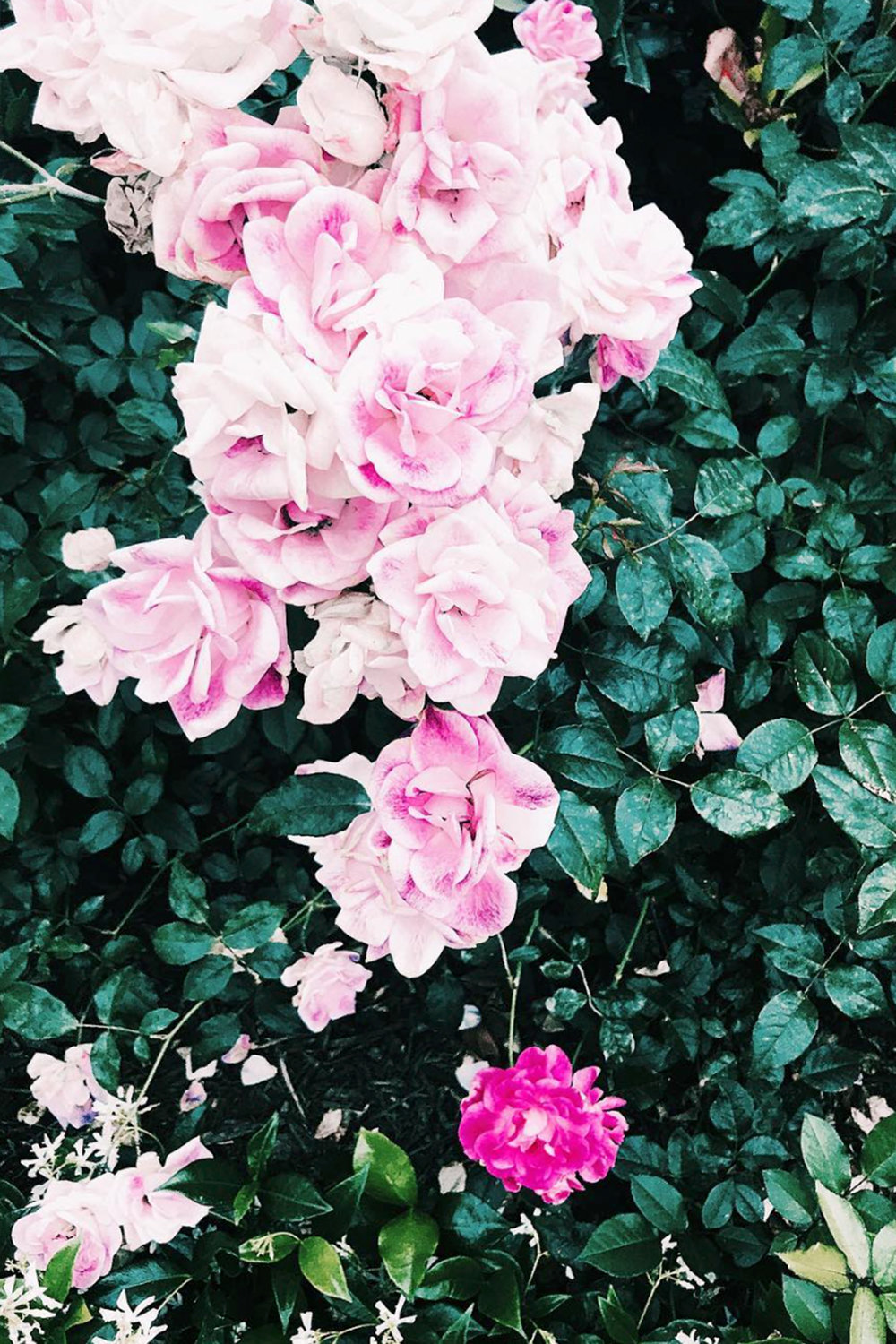 Pink Roses / Flowers / Photo Editing / Instagram Photography Ideas / Kelly Fiance Creative