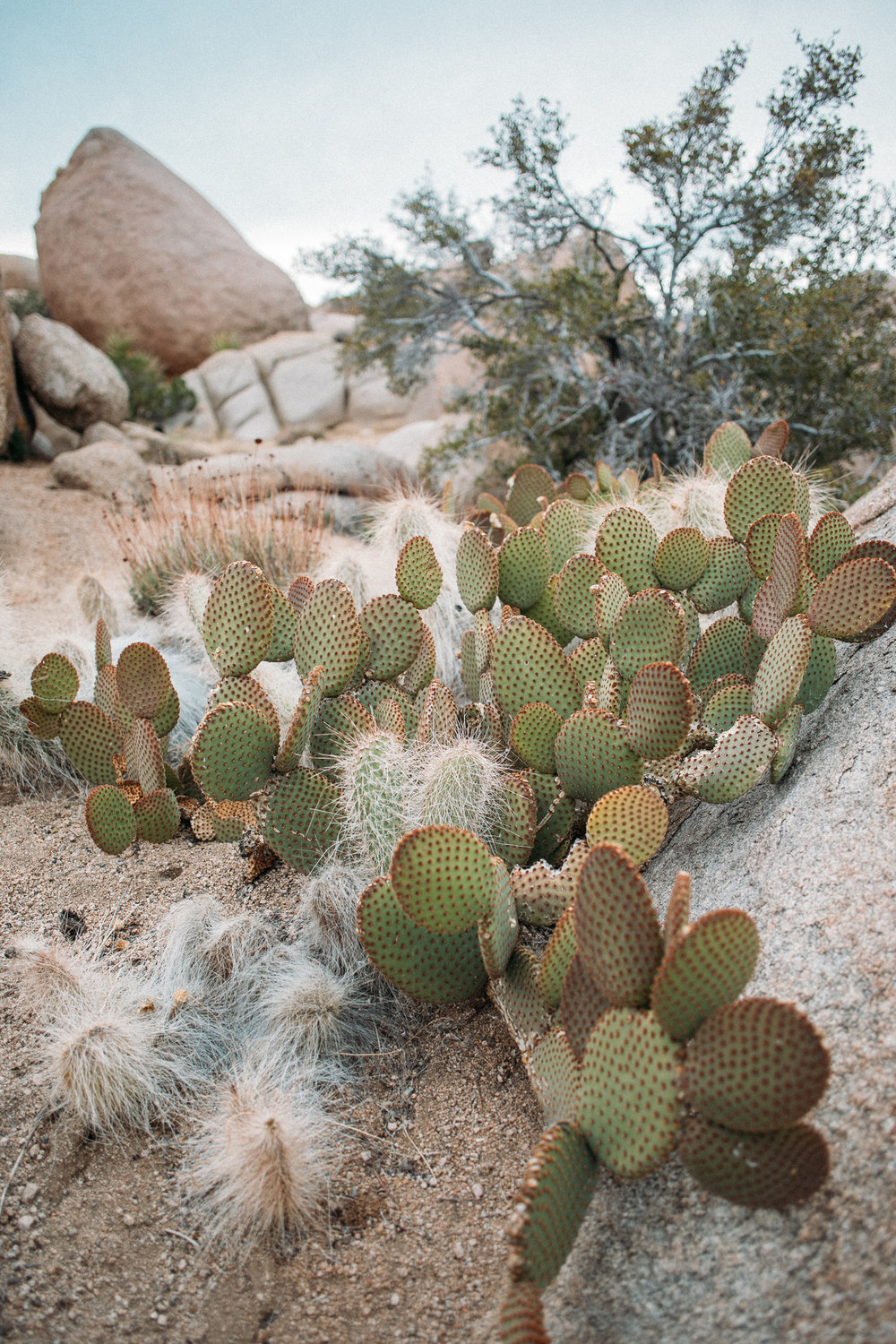 Joshua Tree Cactus Photography