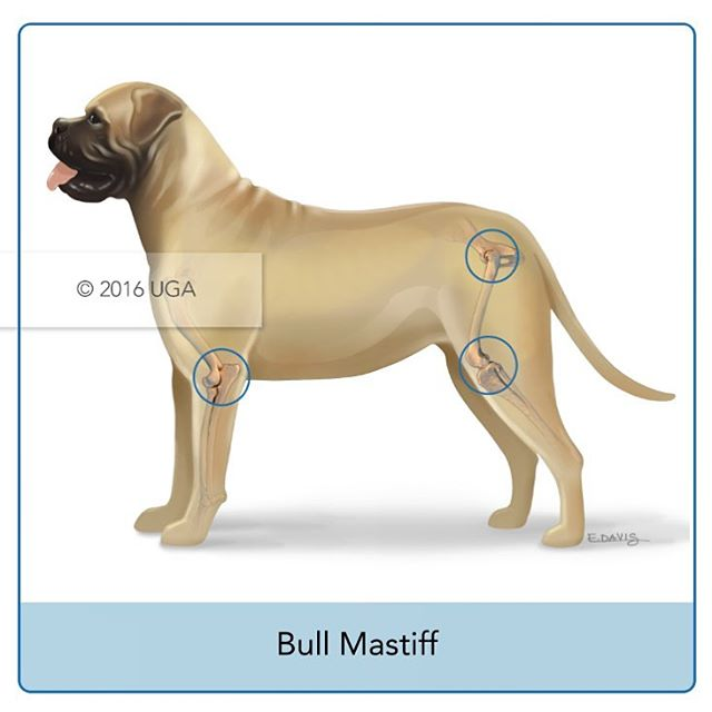 👆🏼Joints most commonly affected by osteoarthritis in Bull Mastiffs. More breeds coming atcha next week!  #medicalillustration #veterinaryillustration #mastiffs #dogstagram #vetmed #veterinary #illustratorsoninstagram