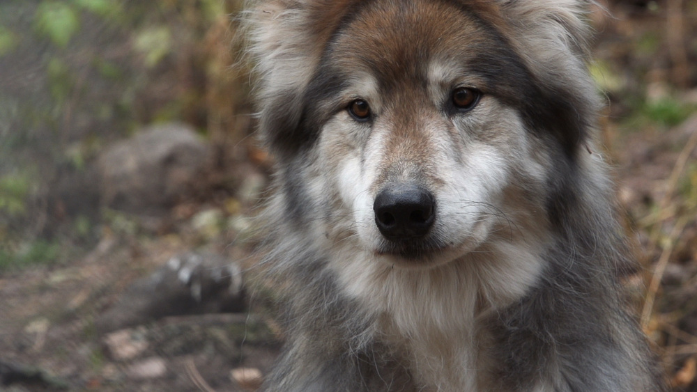 Wolfdog2.jpg