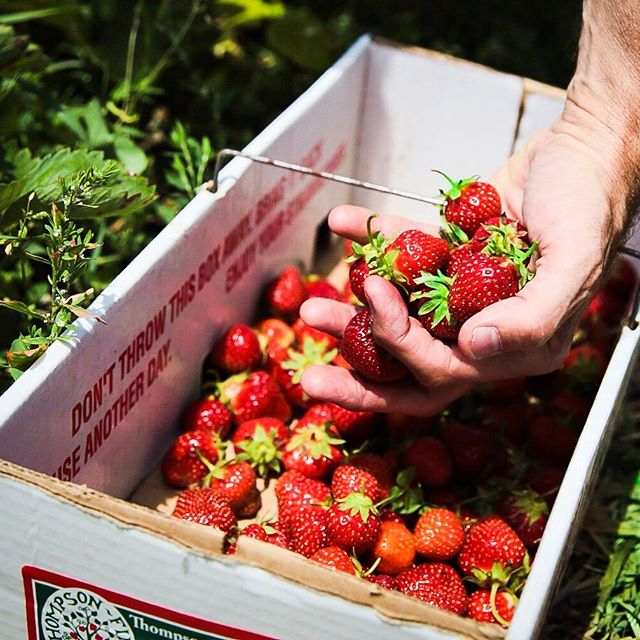 Have you event gone strawberry picking?it is such a great way to put your phone away and get your hands working with something REAL. Now the only question is what to do with all of these strawberries?! I'm thinking tarts, crostata, jam... what about you? #strawberry #summer #baking