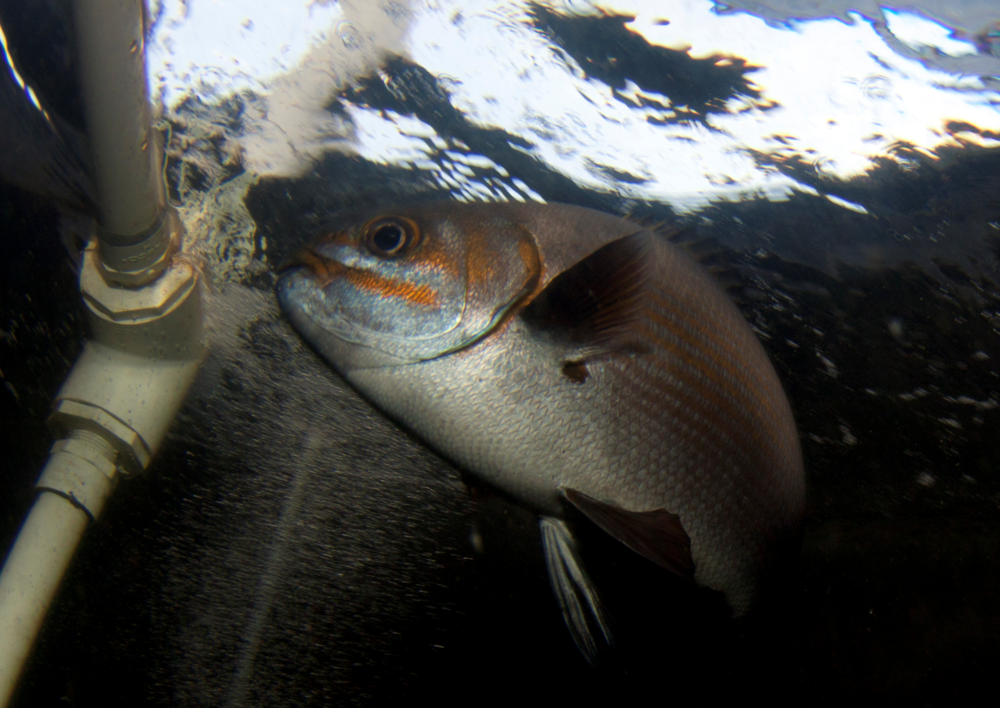 A brassy chub (Kyphosus vaigiensis) held in a broodstock maturation tank at the Kona research facility.