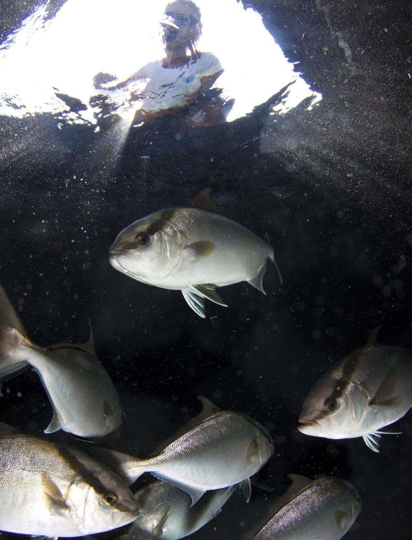 Kampachi at feeding time. Photo  Jeff Milisen