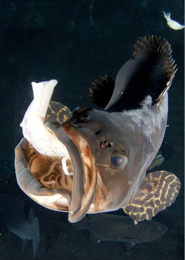 Juvenile Giant Grouper eating squid. Photo  Jeff Milisen