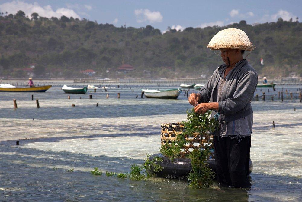 Seaweed farming at Nusa Lembongan, Bali. ©  Jean-Marie Hullot