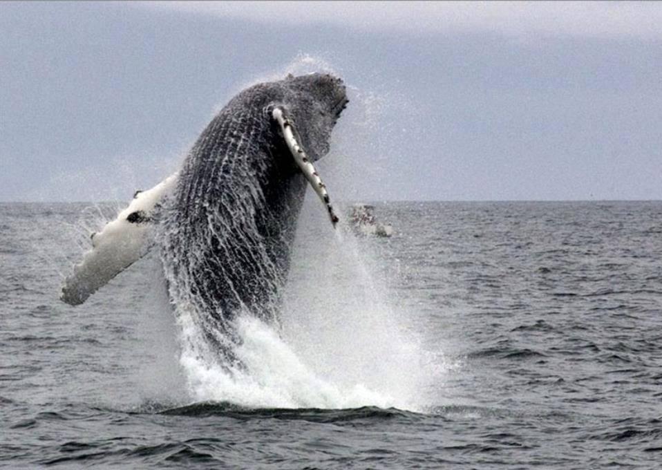 Whale Breaching ➤➤