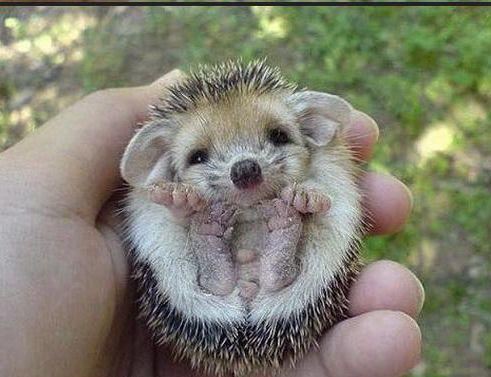 baby-hedgehog1.jpg