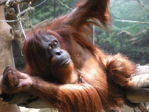 mrs-orangutan.jpg
