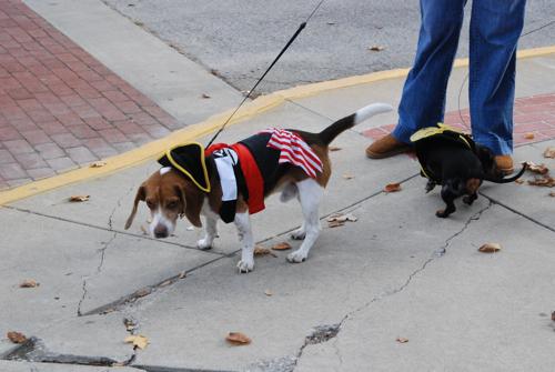 pirate-beagle.jpg