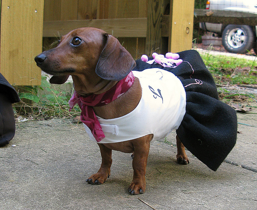 doxie-poodle-skirt.jpg