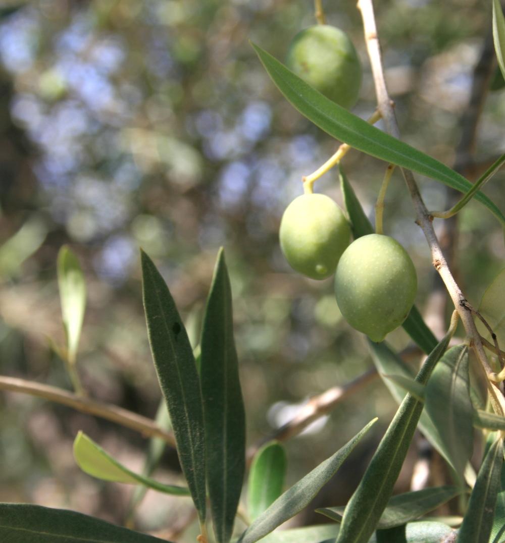 Olives | Mallorca, Spain