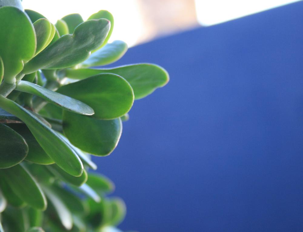 Rubber Plant & Blue Wall | Palma, Mallorca, Spain