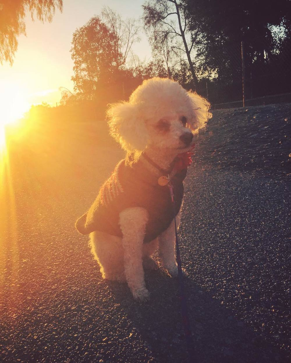 when-you-come-across-the-dreamiest-sunset-and-dont-have-a-model-but-know-its-your-civic-duty-as-a-photographer-to-not-let-that-golden-light-go-to-waste-your-dogs-fill-in-as-models-330365-mimi-unleashed-dogsofinstagram-poodle-fluff_23337186889_o.jpg