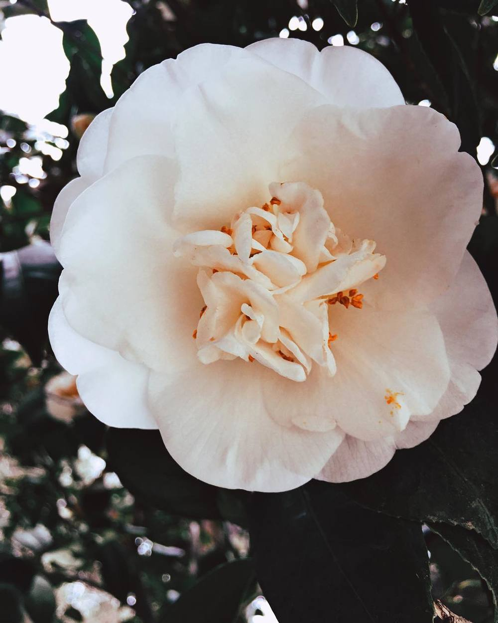 alright-back-onto-the-iphone-adventure-pics-for-a-bit-till-i-load-up-my-next-slr-stuff-fabulous-white-flower-all-up-on-the-scrippscollege-margaretfowlergarden-man-i-miss-school-so-much-22366-scrippscollege_23936693214_o.jpg