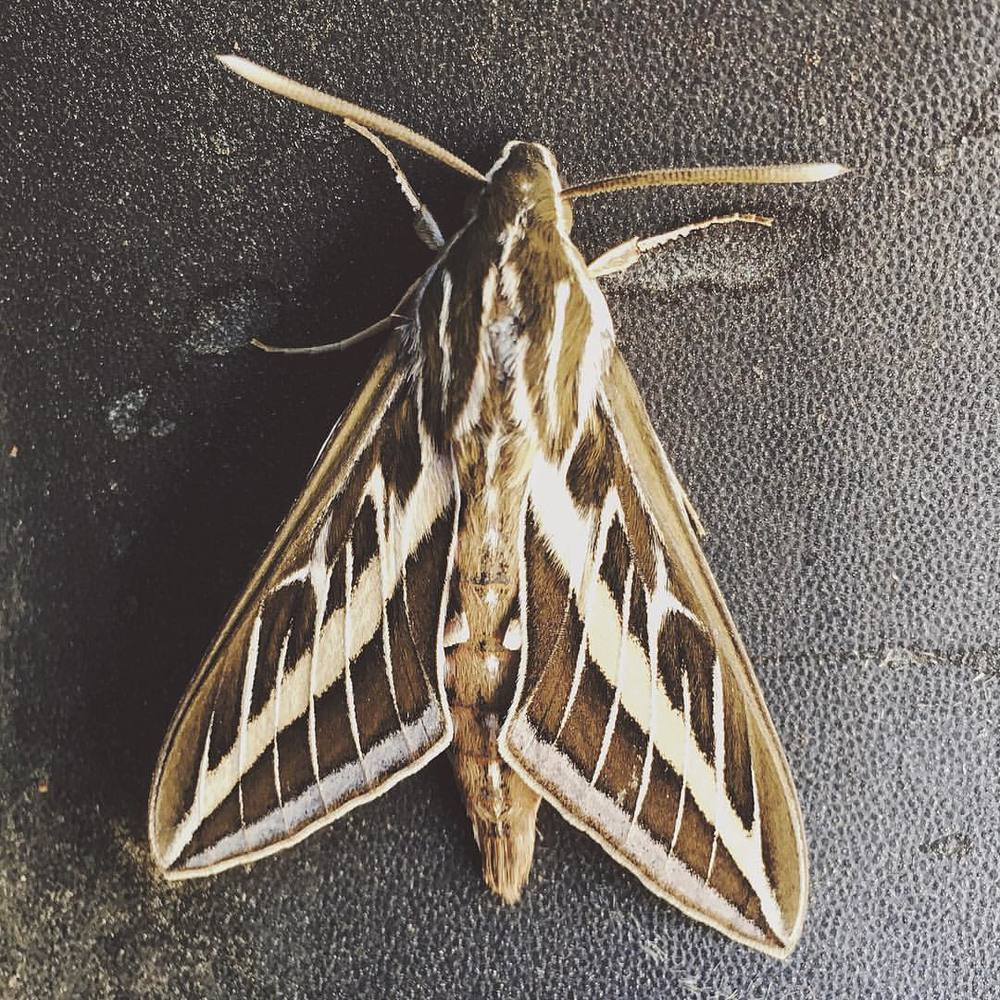 when-you-say-you-kinda-wanna-see-some-wildlife-up-in-coachella-and-then-a-wild-venomoth-appears--113366--moth-wings-gorgeous-big-brown-cream-coachella2016-desert-desertdreams-flyaway-desertvibes-vsco-adventure-camping-a-little-n_26757071830_o.jpg