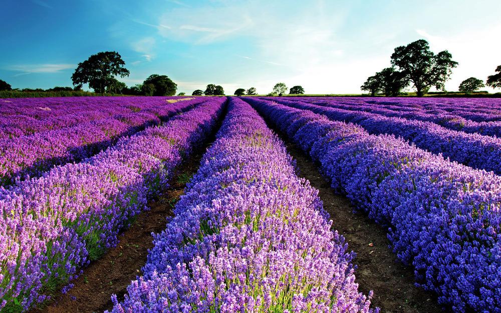 lavender-field-flower-hd-wallpaper-1920x1200-7957.jpg
