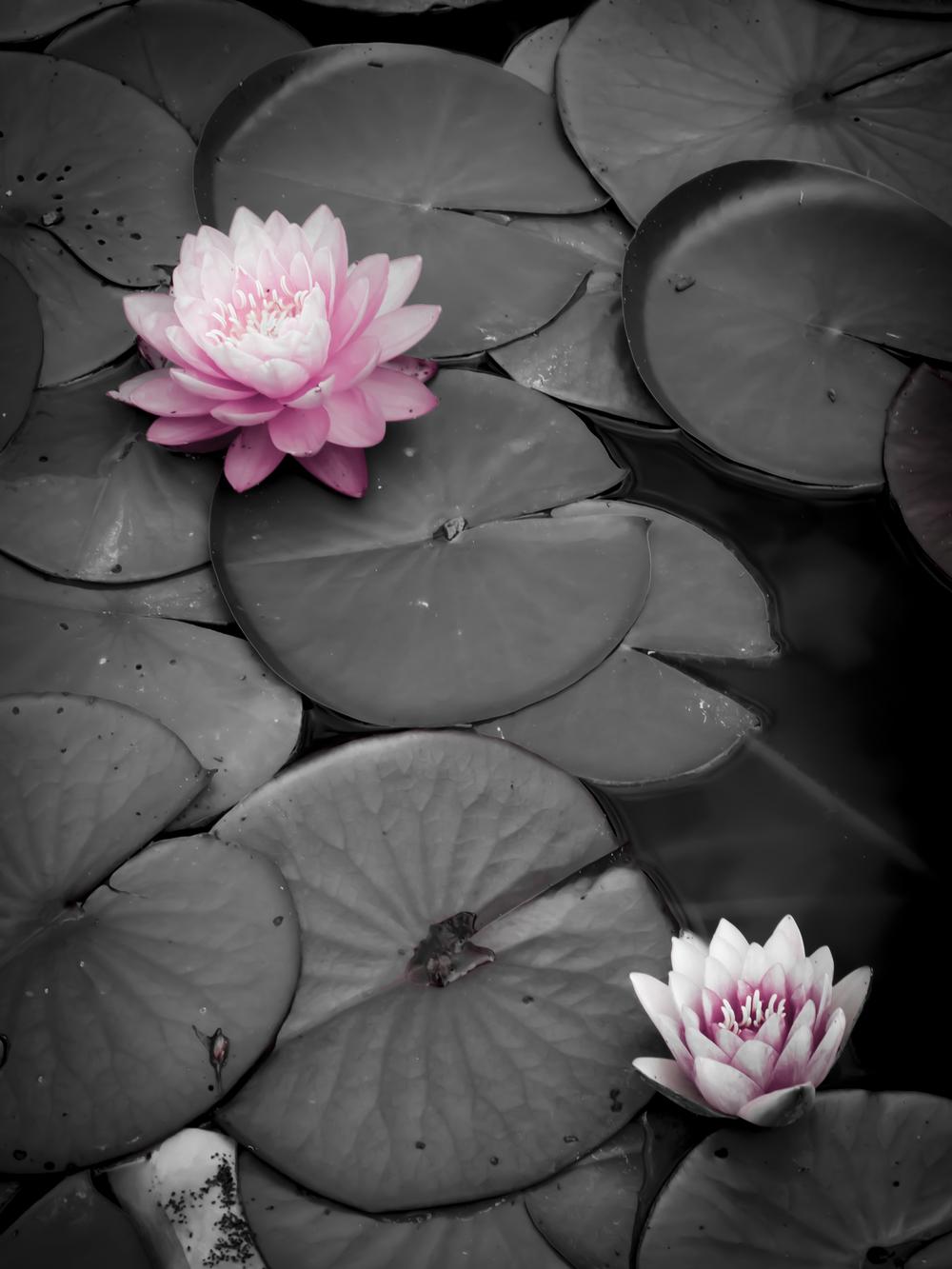Pink Waterlilys.JPG
